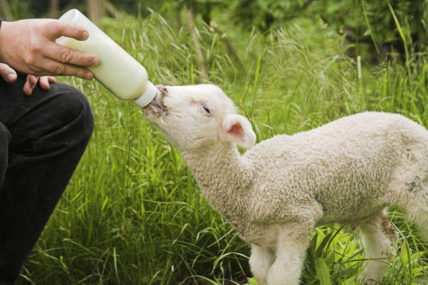 Thirsty Lamb Drinking Milk Symbolizing  New Christians Thirsting for God's Word