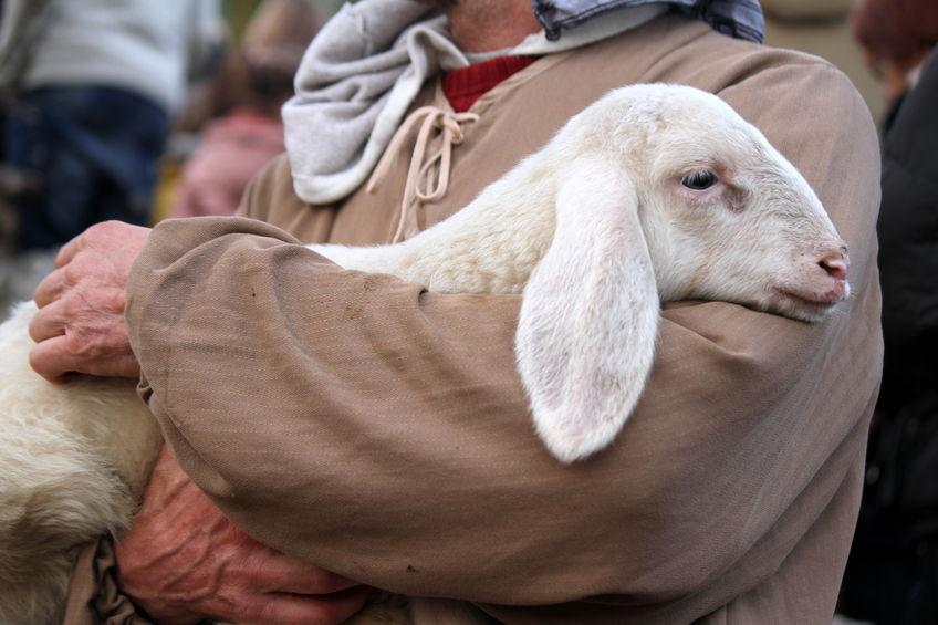 Shepherd Holding Sheep Symbolizing the Great Shepherd Holding Us Close to His Heart